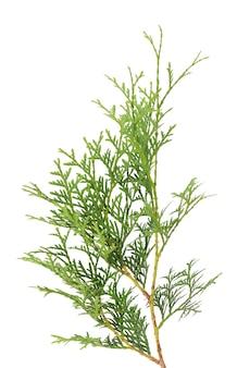 Green arborvitae branch, isolated on white