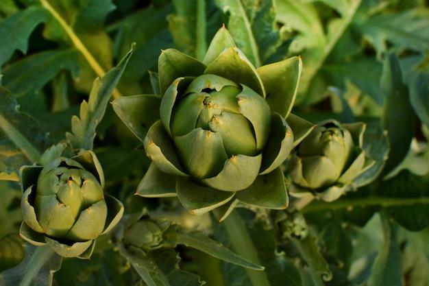 緑のアーティチョークは、茂みの上の庭で育ちます。有機農業。