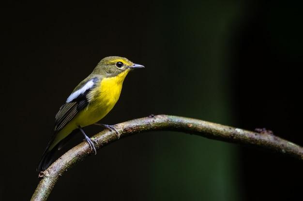 Green backed flycatcher bird on twigs with dark background Premium Photo