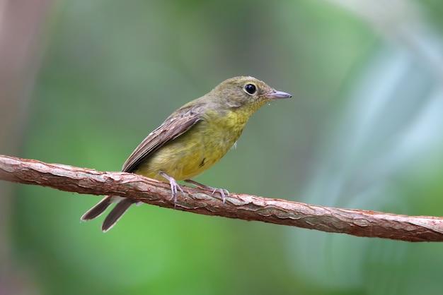 Green-backed flycatcher ficedula elisae beautiful female birds of thailand