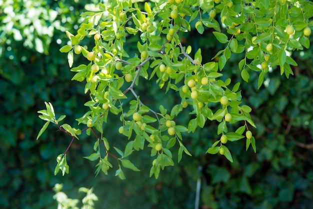 Green background of branches of jujube