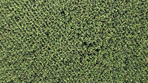 높이에서 아래를 내려다 보면서 옥수수 밭의 녹색 배경. 녹색 옥수수 밭을 비행하는 드론에서 아래를 내려다보세요.