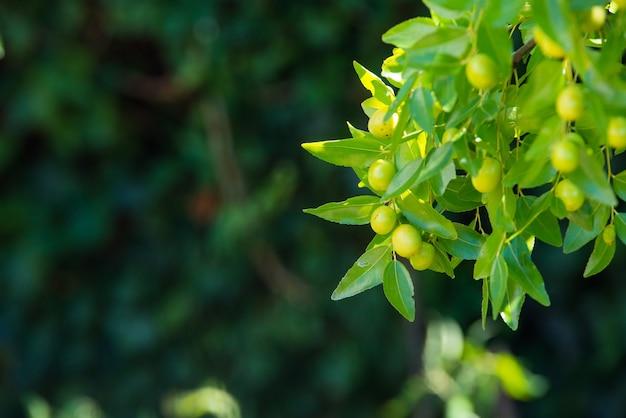 ナツメの枝の緑の背景(ナツメの本物、中国の日付、capiinit、ホホバ、ラテン語。進行中のナツメ)。夏です。