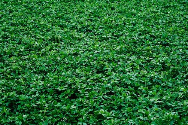 토끼풀 알팔파의 녹색 배경 질감