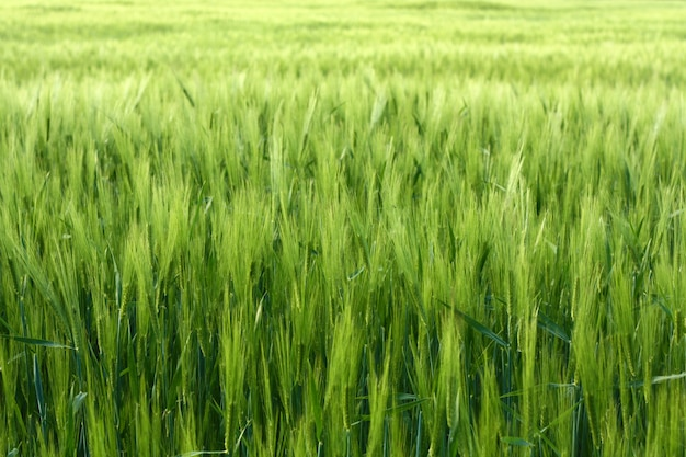 Green background of vivid green grass of meadow
