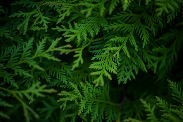 Green background with branches of thuja