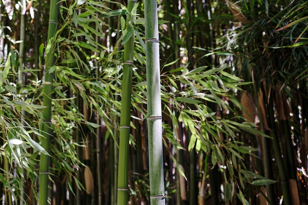 Green bamboo forest in daylight