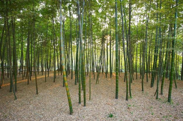 Зеленый бамбуковый лес в китае