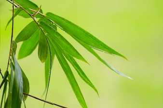 Green Bamboo leaf abstract background