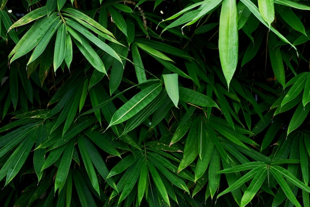Green bamboo leaves texture for background