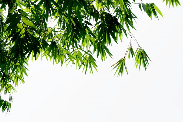 Green bamboo leaves on white