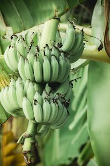 Green banana on a banana tree