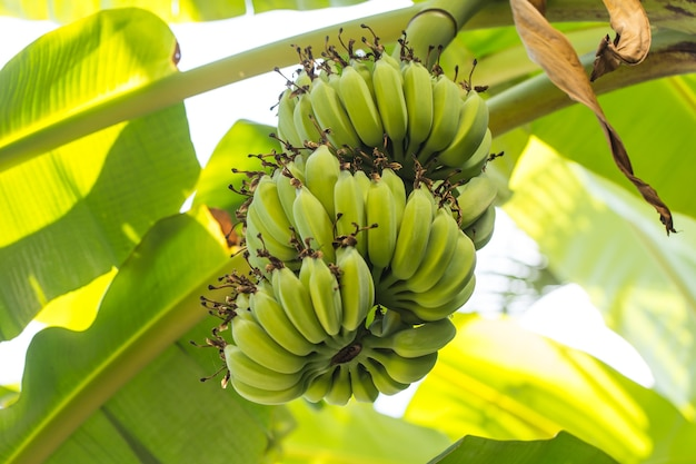 Green banana on banana tree