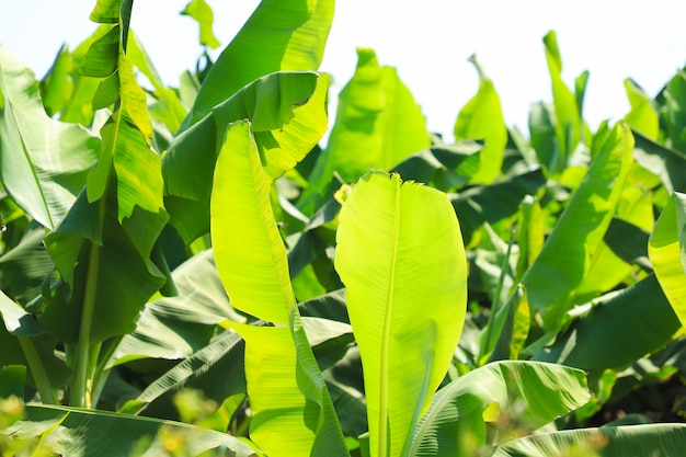 Green banana field