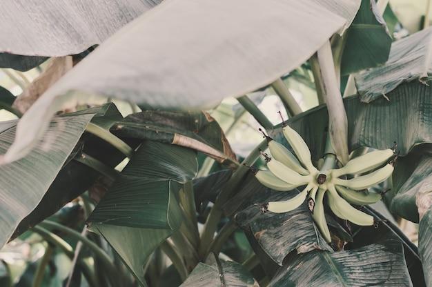 Зеленые банановые фрукты и зеленые тропические листья банановая пальма