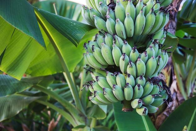 Green banana fruit on tree in jungle