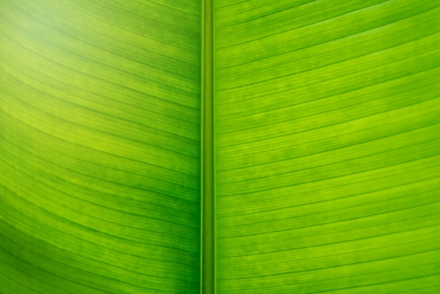 Green banana leaf texture background in close up view. middle of leaf ax is brown color.