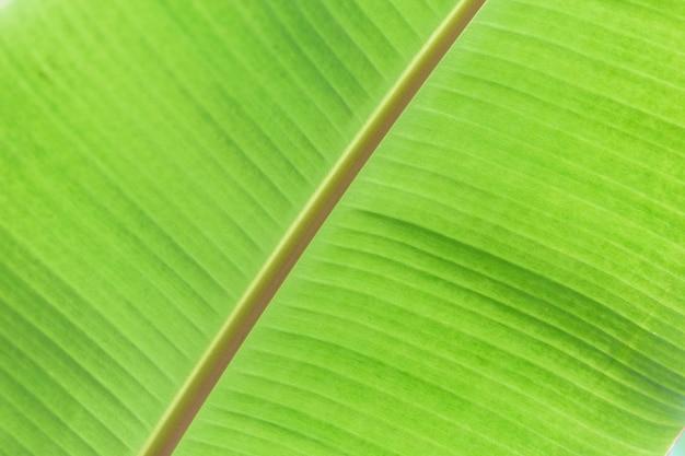 Green banana leaf tropical palm foliage texture background.