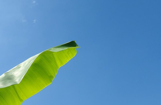 Green banana leave with clear blue sky .