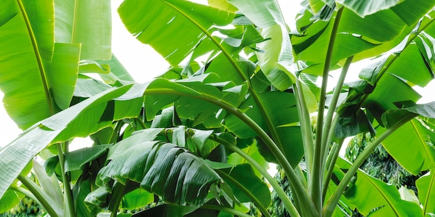 Green banana leaves abstract background