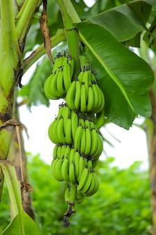 Green banana tree on the banana field