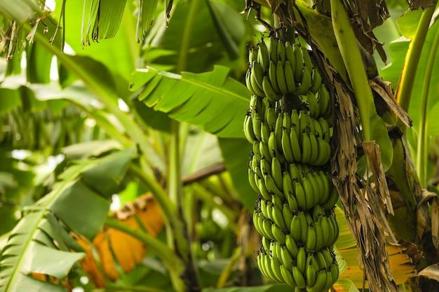Green banana tree on the field