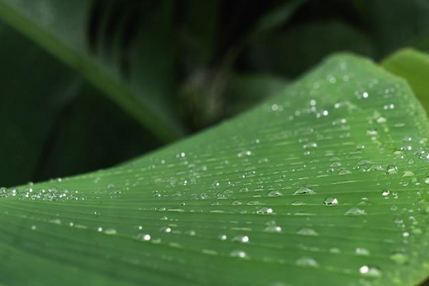 Зеленый лист бананового дерева с каплями росы