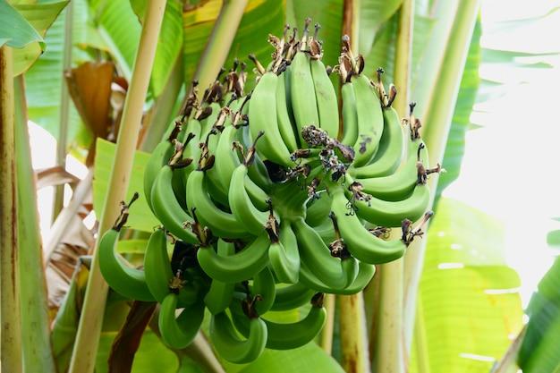 Green bananas on banana tree