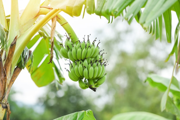 Green bananas in the garden on the banana tree agriculture plantation in thailand summer fruit /