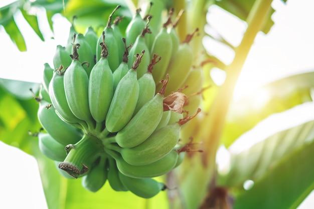 Зеленые бананы на дереве
