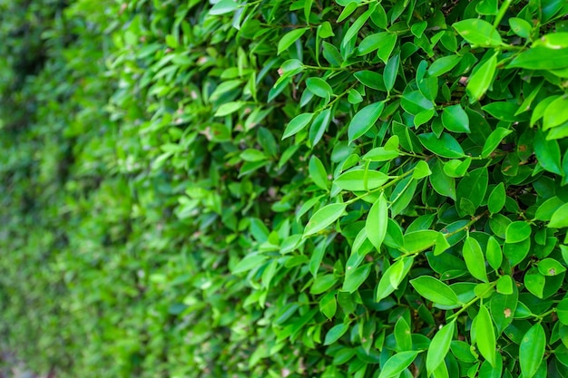 Green banyan leaves wall (tree wall) panorama used as art work and backdrop design nature background.