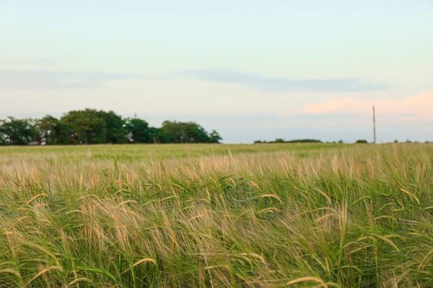 空、テキスト用のスペースに対して緑の麦畑。農業