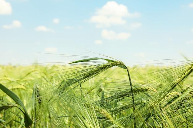 青空、テキスト用のスペースに対して緑の大麦畑。農業
