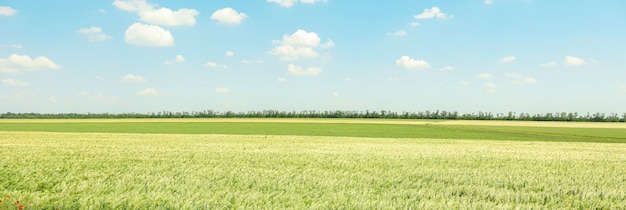 Green barley field against sky, space for text. agriculture