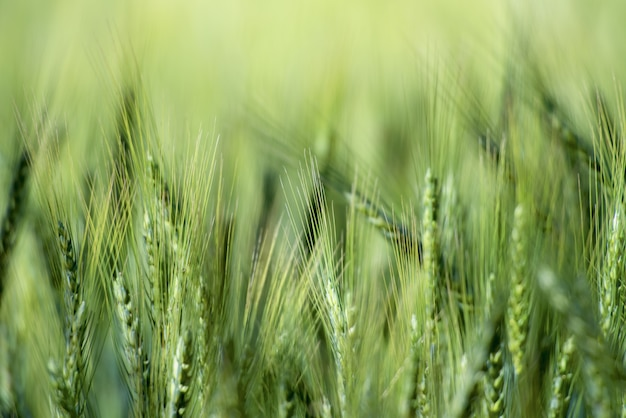 Green barley field closeup
