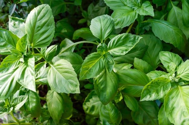 정원에서 녹색 바질이 자랍니다. 인기있는 매운 나물.