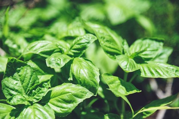 Green basil leaf plant growing in the vegetable garden plantation, fresh sweet genovese basil herb