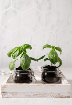 식탁 인테리어 장식에 유리 항아리에 녹색 바질 식물