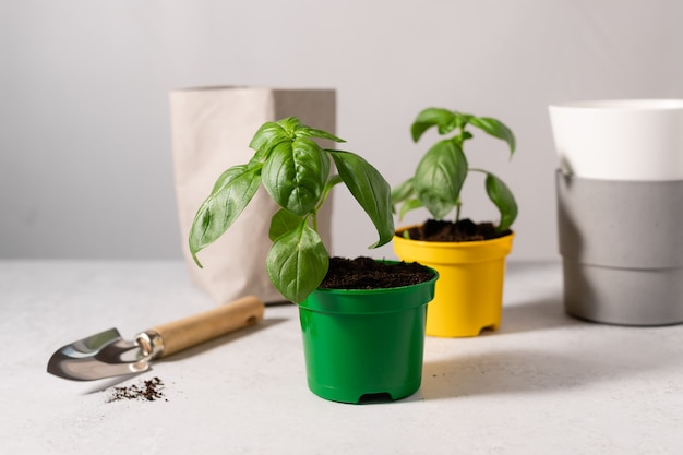 Саженцы зеленого базилика и садовые аксессуары