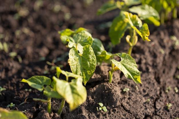 Green bean sprouts on farm vegetable garden, agriculture concept