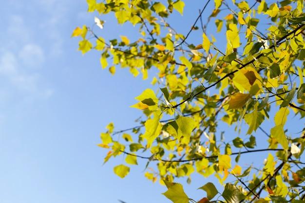 春の森の暖かい春の太陽に照らされた緑の美しく太陽に照らされた白樺の葉、クローズアップ写真