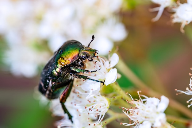 Green beautiful beetle sits on a white flower in a summer garden