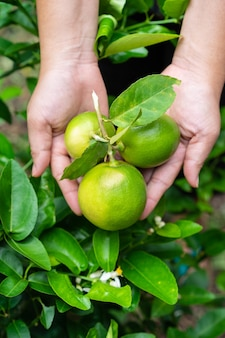 Green beautiful fresh limes in a woman's hand in the garden