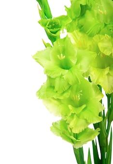 白い背景で隔離の緑の美しいグラジオラスの花