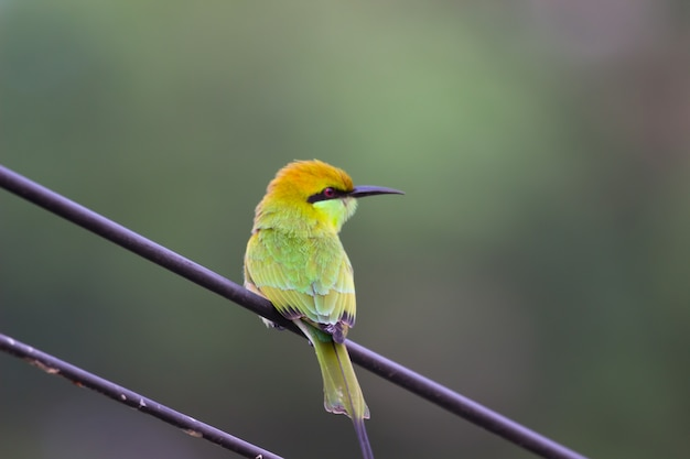 A green bee eater perched on a cable wire and looking away in a soft blurry background.   ,