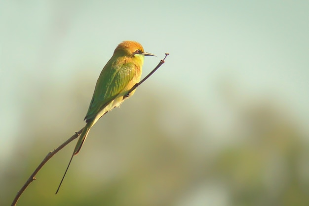 A green bee eater perched on a thin branch of a plant and looking away in a soft blurry background