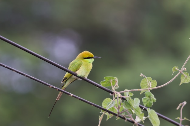The green bee eater sitting on the wire looking for prey