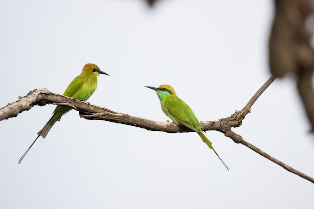 The green beeeater merops orientalis also known as little green beeeater resting on the branch Premium Photo