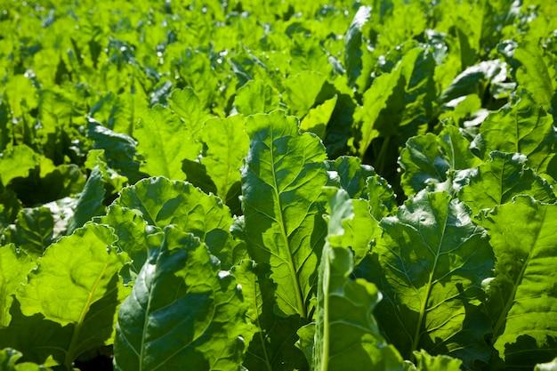 Зеленая свекла для производства сахара в сельском хозяйстве