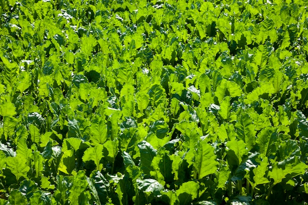 Green beet for sugar production in the agricultural field